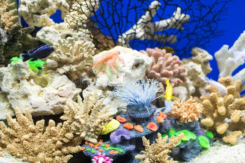 Fish cichlid Hummingbird and beautiful colorful design of the aquarium stock photo