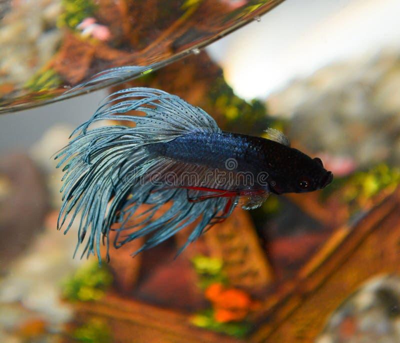Fish closeup dark blue in the aquarium. Fish closeup macro dark blue in the aquarium royalty free stock image