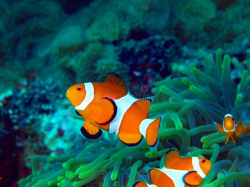Fish-clown stock photo