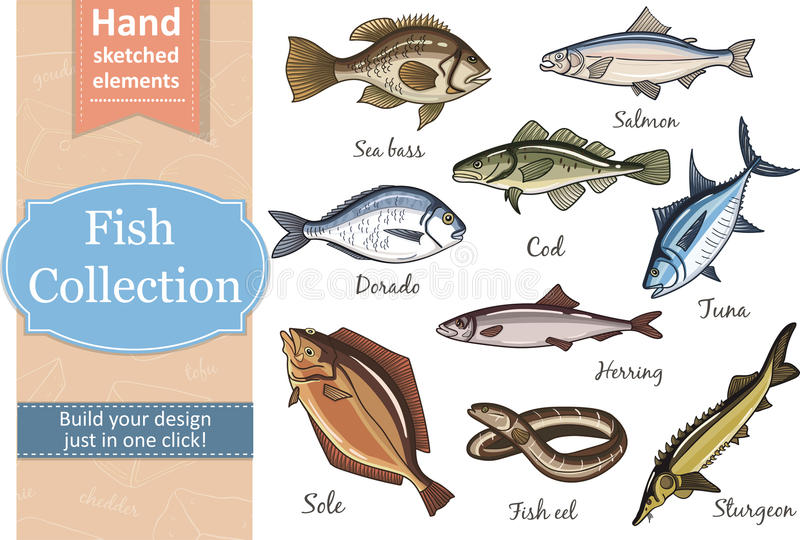 Fish collection Dorado Eel Tuna, Salmon Halibut Herring Sea bass Cod Sturgeon. Fish collection Dorado Fish Eel Tuna Salmon Halibut Herring Sea bass Cod Sturgeon vector illustration