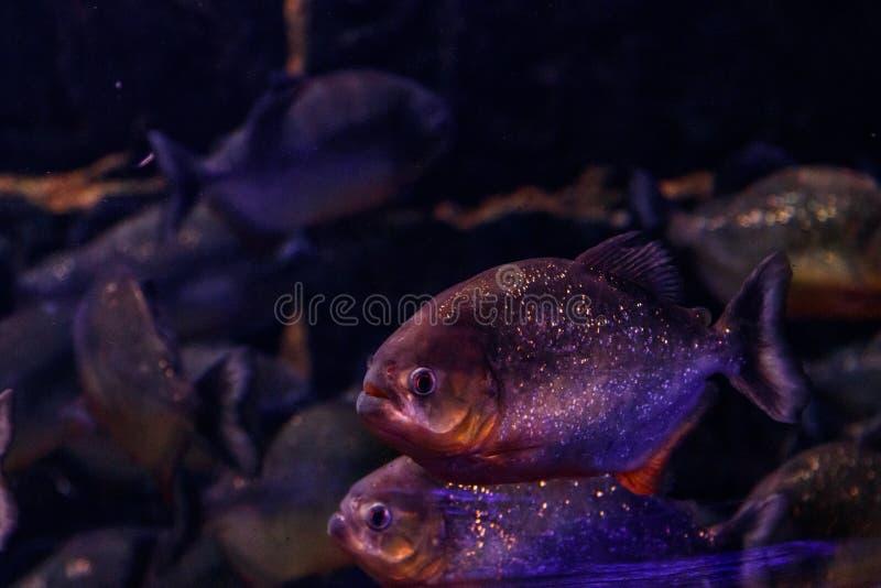 Fish Common Piranha Pygocentrus nattereri. Close up royalty free stock photography
