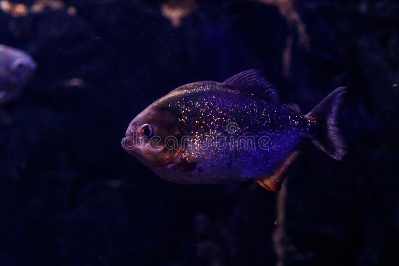 Fish Common Piranha Pygocentrus nattereri. Close up stock photography