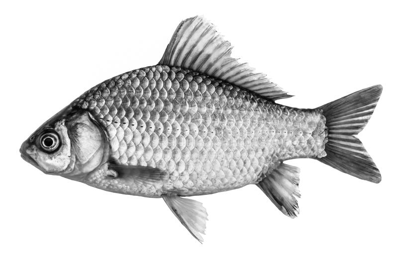 Download Fish Crucian Carp, Isolated Black And White, Side View. Stock Photo - Image: 83724747