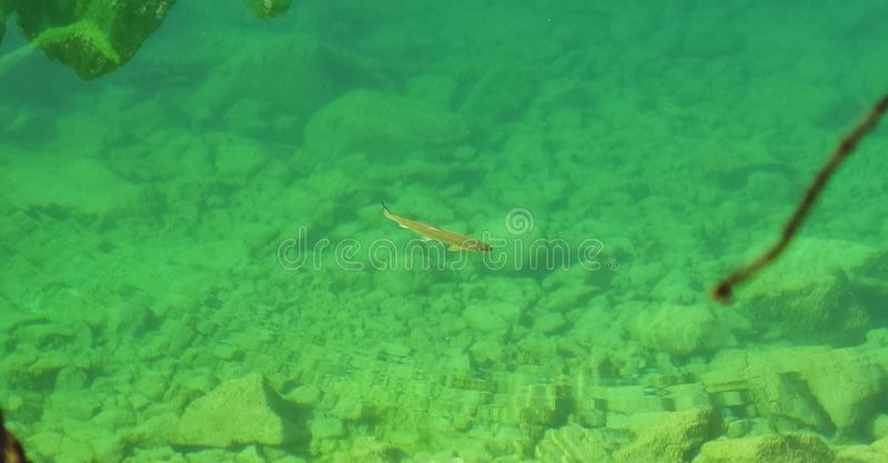 Fish in crystal emerald lake. The fish in crystal emerald lake stock photography