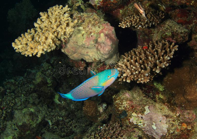 Fish - Daisy Parrotfish. Fish Daisy Parrotfish known also as bullethead parrotfish - Chlorurus sordidus swimming around coral reef with staghorn corals in Red stock image
