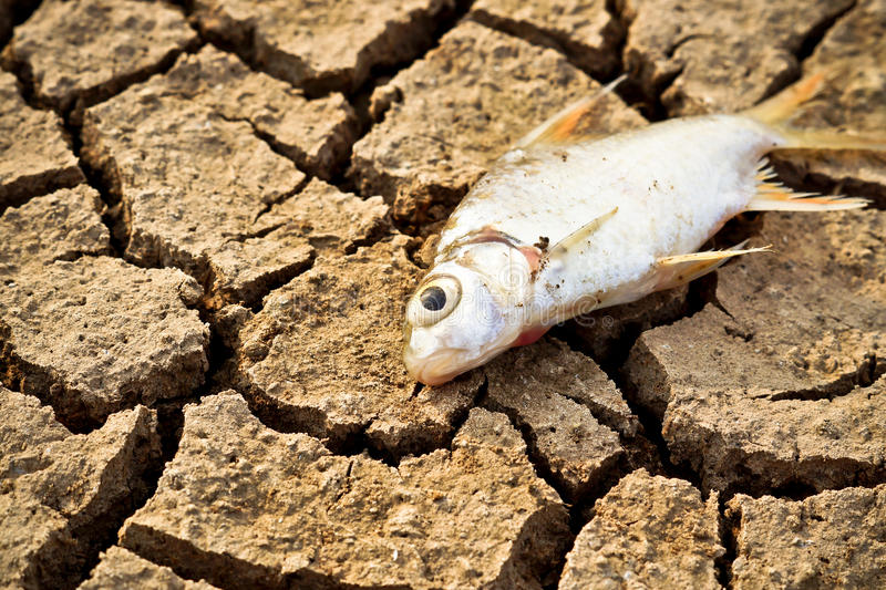 Fish died on cracked earth stock image
