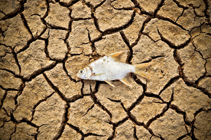 Fish died on cracked earth stock images