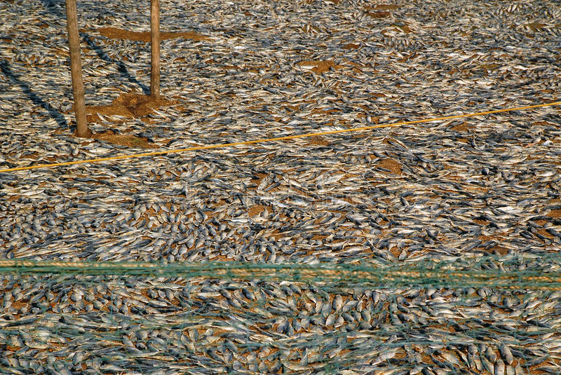 Download Fish Drying on the Ground stock photo. Image of fishermen - 27233230