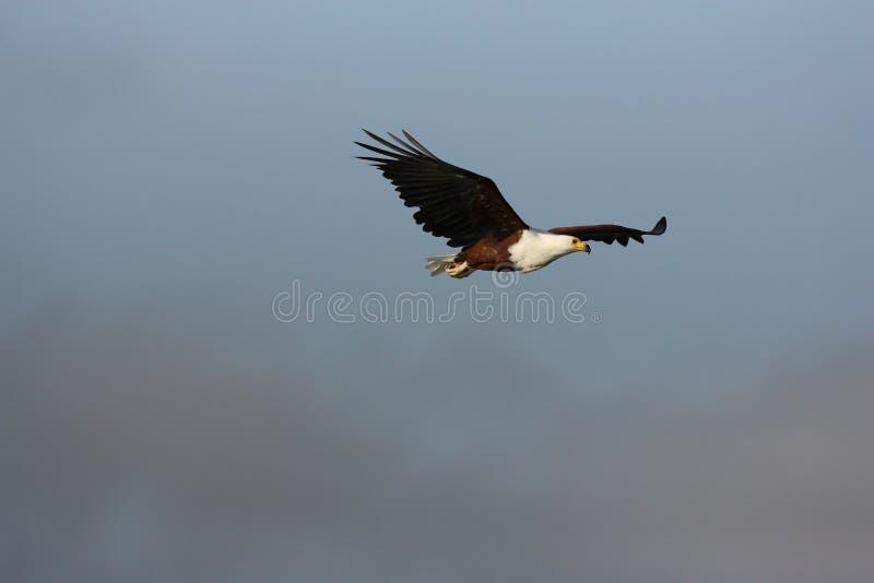 Fish Eagle stock photography