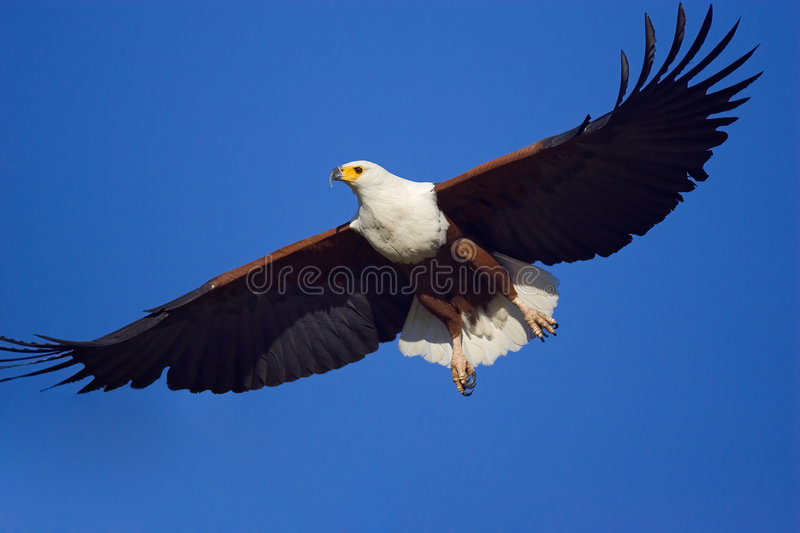 Fish Eagle. Close-up of the majestic African Fish Eagle flying against blue sky