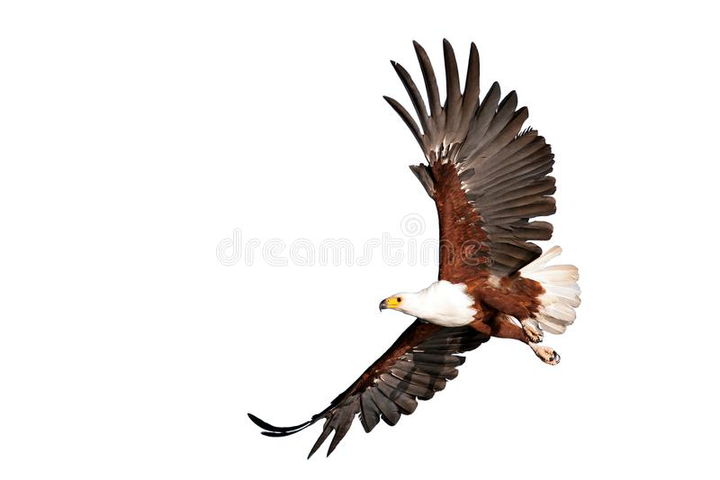 Fish eagle beautifully flying on isolated white background. Kenya, Africa royalty free stock photo