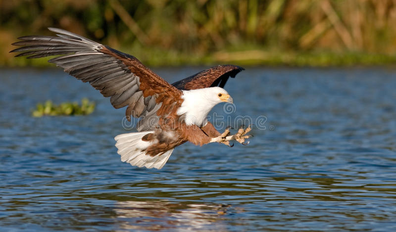 Fish eagle flying low over the water of Lake Naivasha and claws stretched out with claws for a moment before the attack stock photography