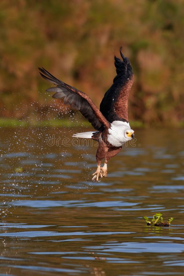 The fish eagle flying with prey above the lake stock photo