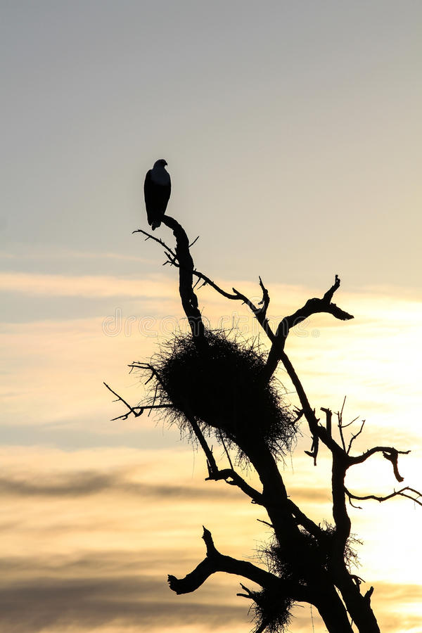 Fish Eagle at Home royalty free stock images
