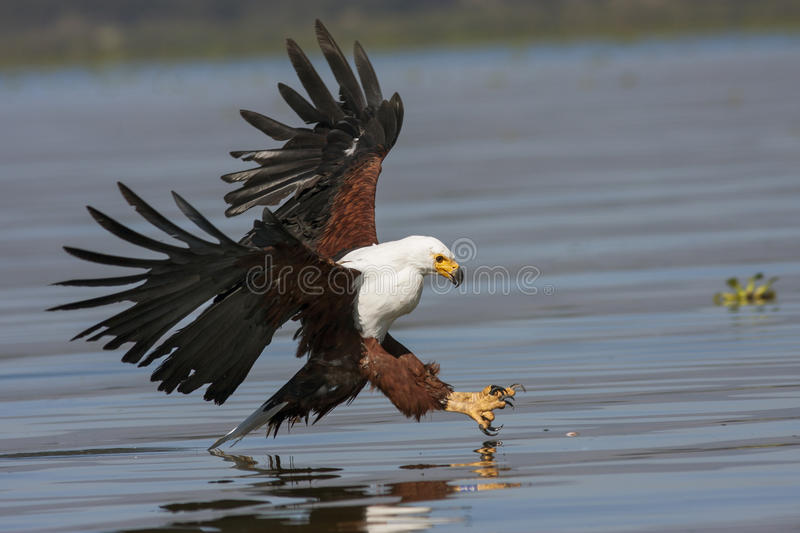 Fish eagle at the last moment to attack prey royalty free stock image