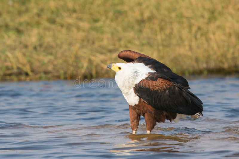 Fish eagle searching for fish in river royalty free stock image