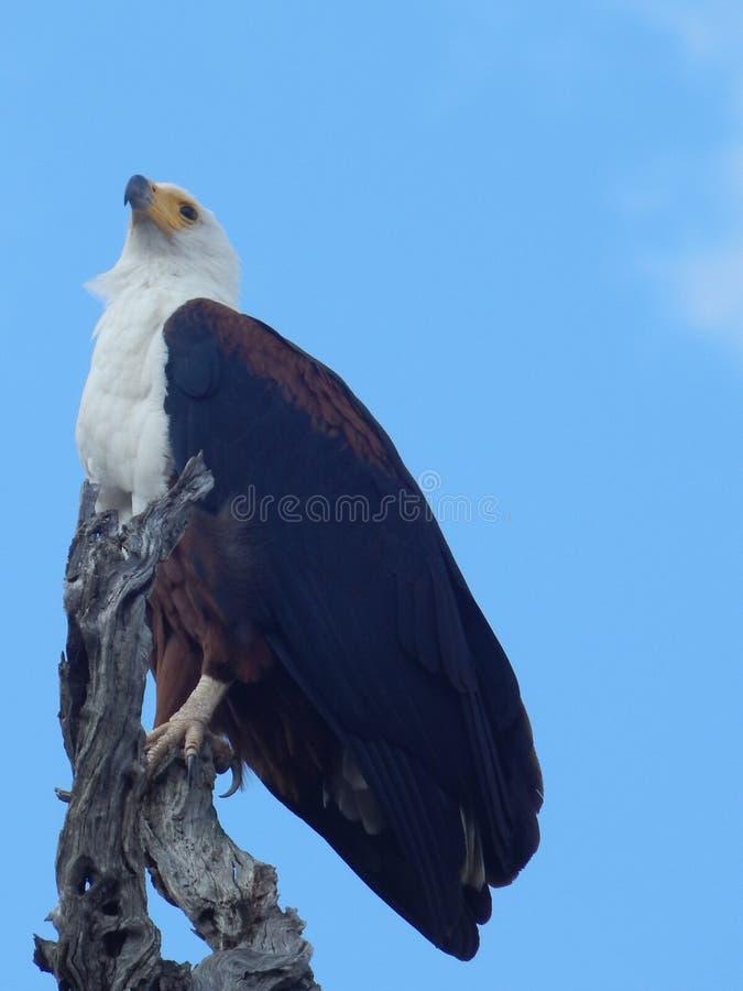Fish eagle stock image
