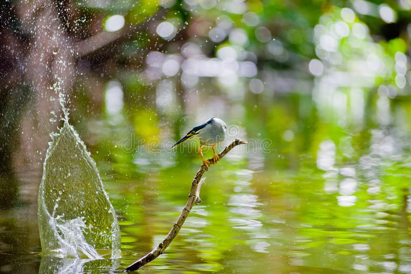 The fish eater is a bird found near the rivers. The hungry bird waiting for her food , hunting time, stay focus for a living royalty free stock photo