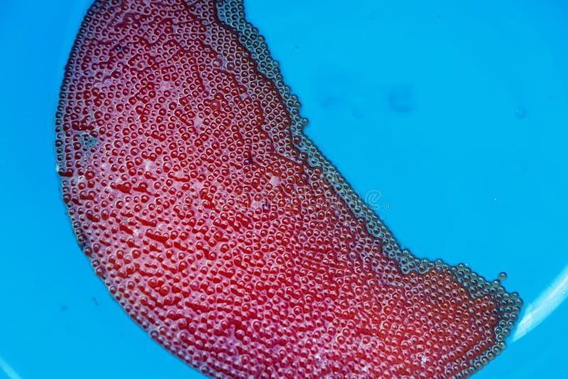 Fish eggs close up. Spawning salmon fish eggs, close up stock photos