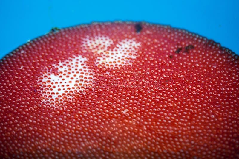 Fish eggs close up. Spawning salmon fish eggs, close up royalty free stock image