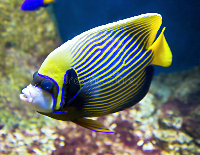 Download Fish-emperor (fish-angel) stock image. Image of imperator - 27246731