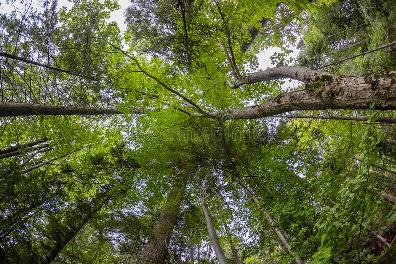 Forest Canopy in europe royalty free stock photos