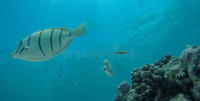 Underwater life at Maldives royalty free stock photography