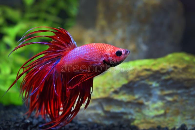 Fish fighting betta splendens asia thailand. Red stock image