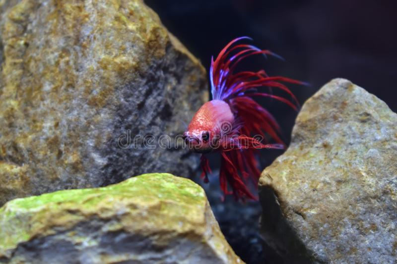 Fish fighting betta splendens asia thailand. Red royalty free stock images