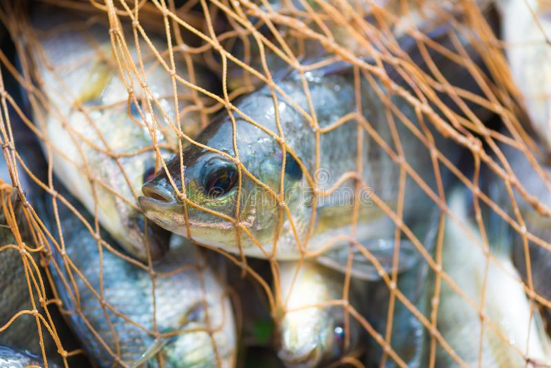 Fish in fishing net. animal. stock photography