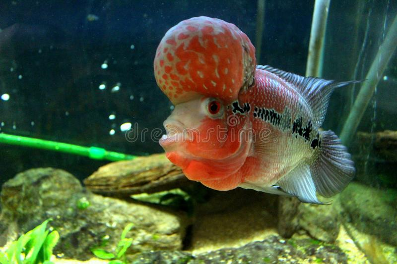 Flower Horn Fish Stock Images - Download 286 Royalty Free Photos
