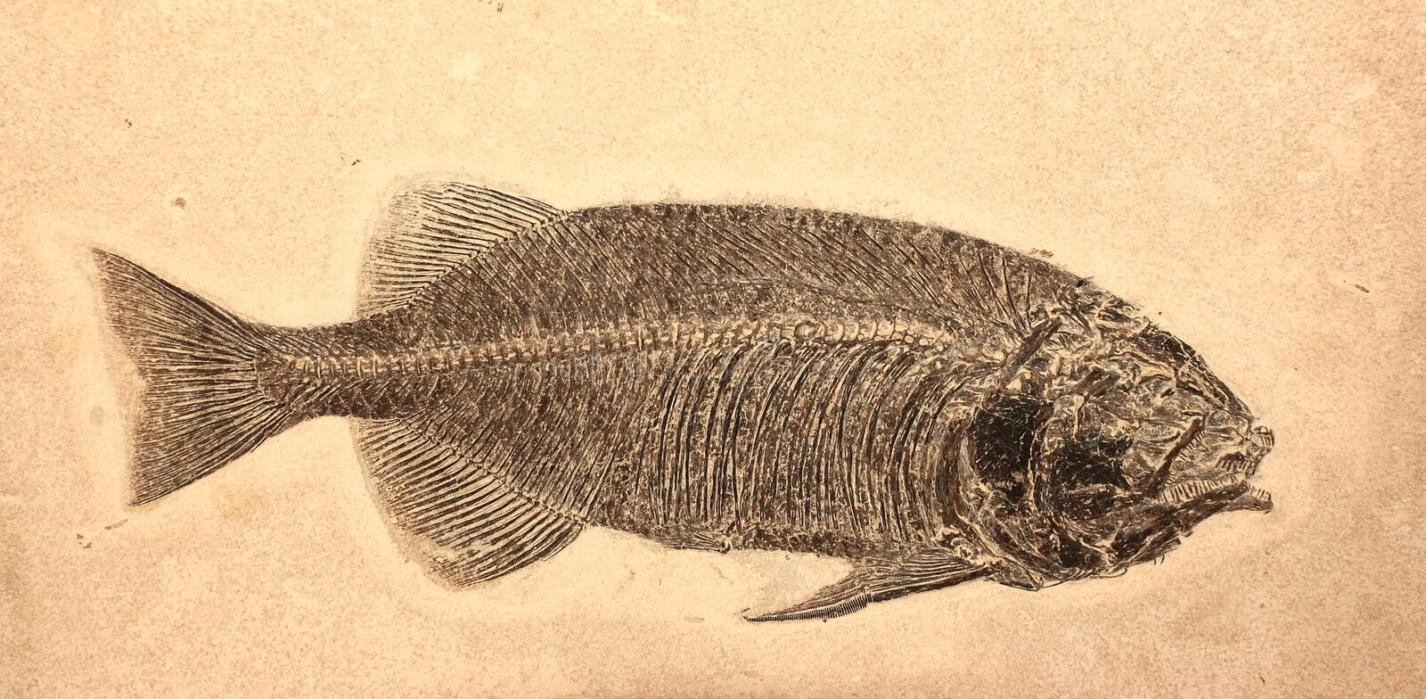 Fish Fossil stock images