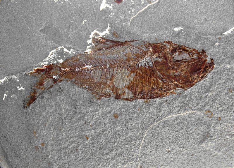 Fish Fossil 5 royalty free stock photo