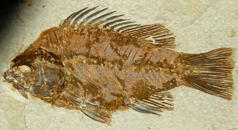 Fish Fossil Free Public Domain Cc0 Image