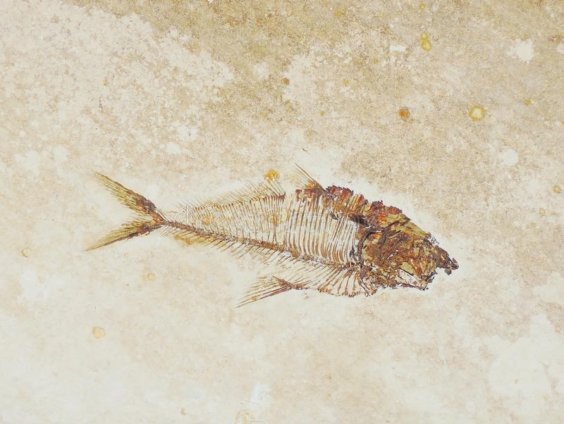 Fish fossil. Closeup Fish fossil of background stock photos