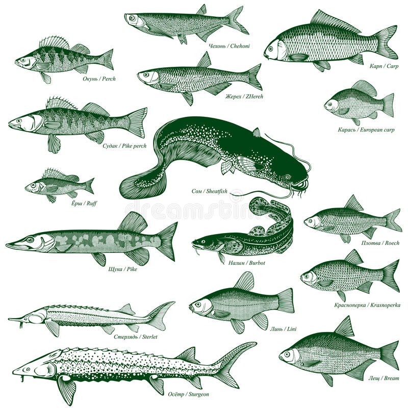 Fish freshwater vector 1. Types freshwater fish. Vector illustration vector illustration