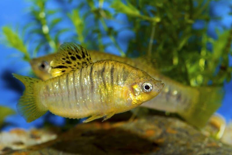 Fish from genus Poecilia royalty free stock photos