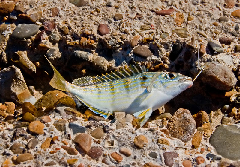 Download Fish got caught stock photo. Image of dying, yellow, bite - 12881436