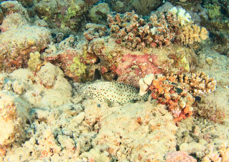 Fish Greasy grouper. Epinephelus tauvina hiding among corals on bottom of sea in Red Sea in Marsa Alam, Egypt, Africa stock photo