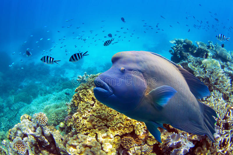 Fish at Great Barrier Reef. Napoleon fish swimming at Great Barrier Reef in Whitsundays Australia