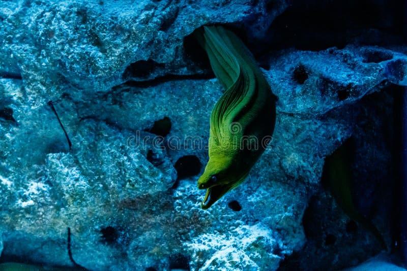 Fish Green Hymnothorax Gymnothorax funebris stock photo