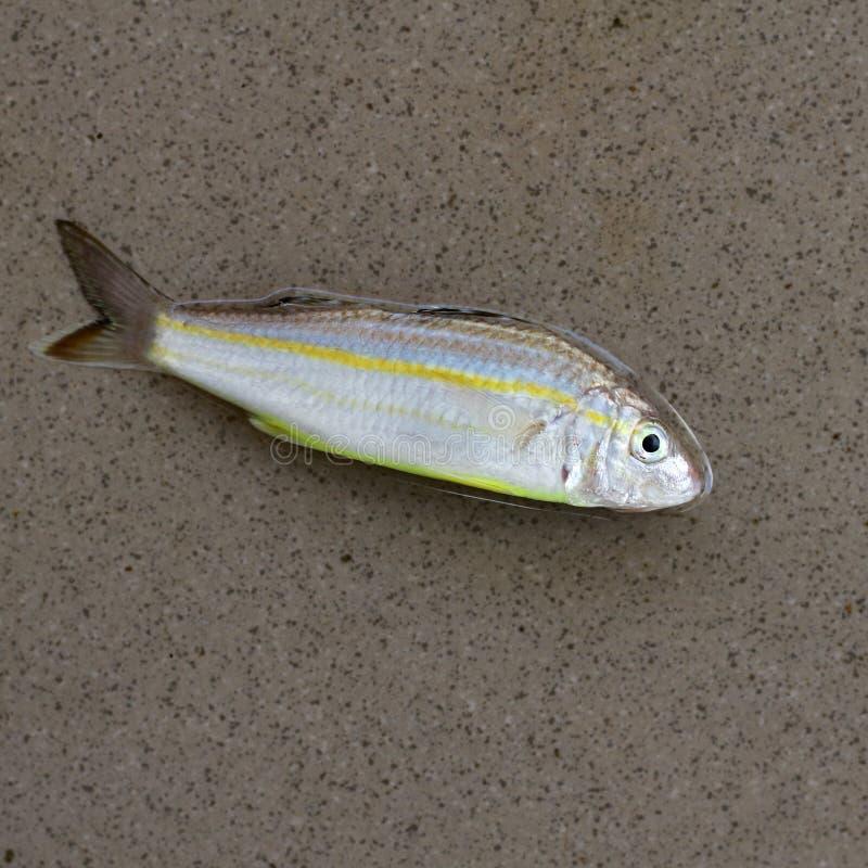 fish on grey background, fish, one fish stock photo