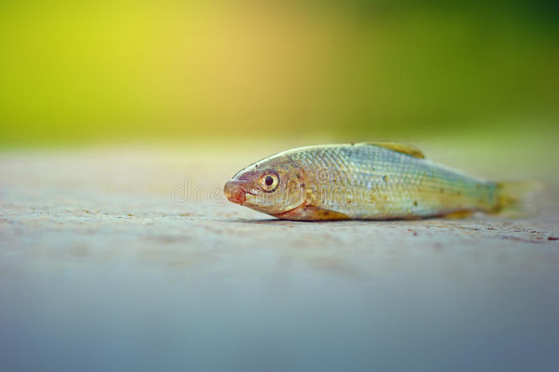 Fish on ground. Small fish on ground , fishing royalty free stock image