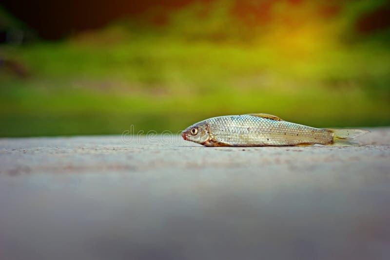 Fish on ground. Small fish on ground , fishing stock photo