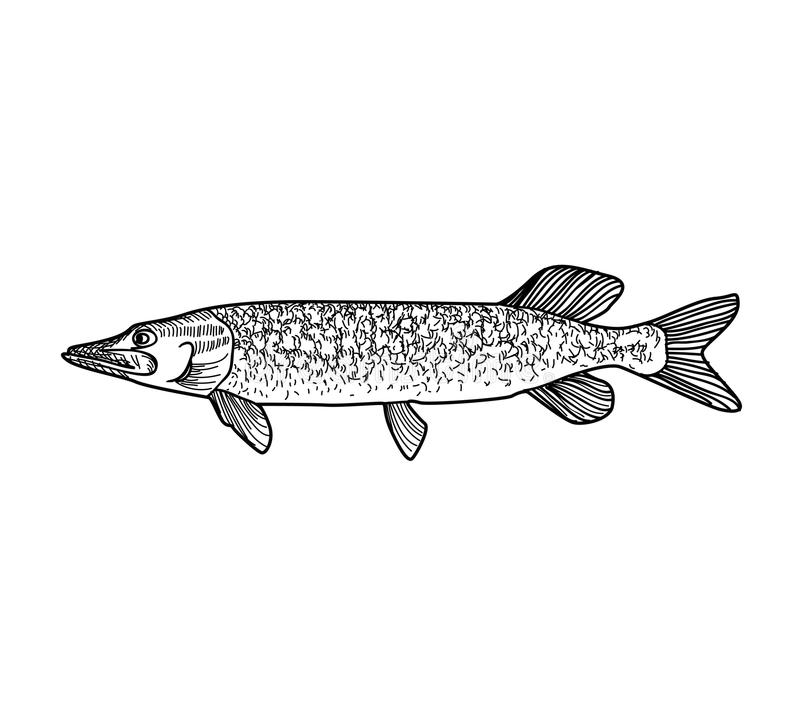 Fish. Hand drawn engraving seafood icon. vector illustration