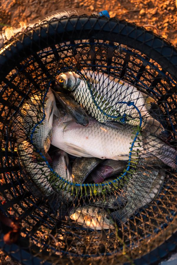 Fish in hand made thai fish trap. Fish in hand made thai local fish trap stock images