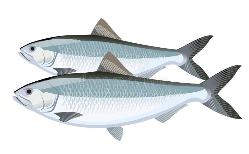 Fish. Herring royalty free stock photos