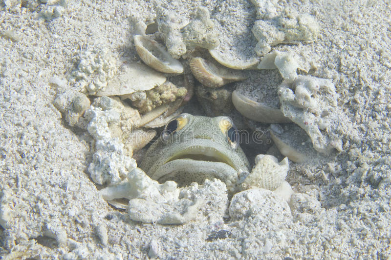 A fish hiding in its nest royalty free stock image