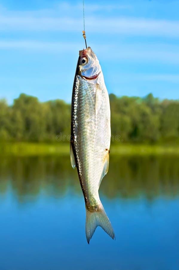 Fish on a hook stock photos