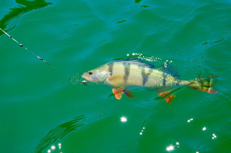 Fish on hook. A perch in green water just been hooked stock photography